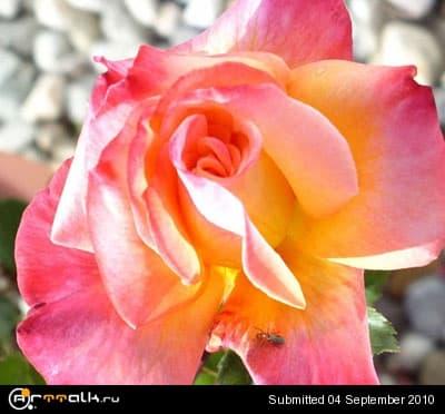 golden_blush_2_503.jpg