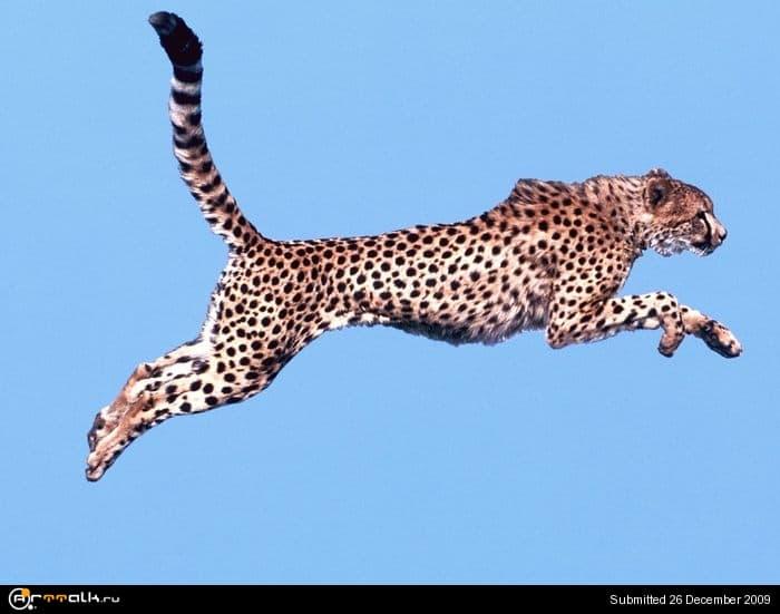 2368204_Air_Time_Cheetah.jpg.505e38e9594a9338b2e386b206254d0e.jpg