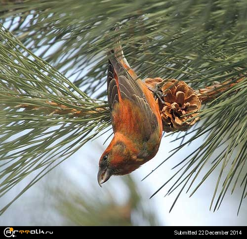 red-crossbill-3.jpg.9db978881d632e4395d8648b8526b418.jpg
