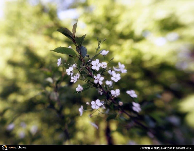 вишня в цвете