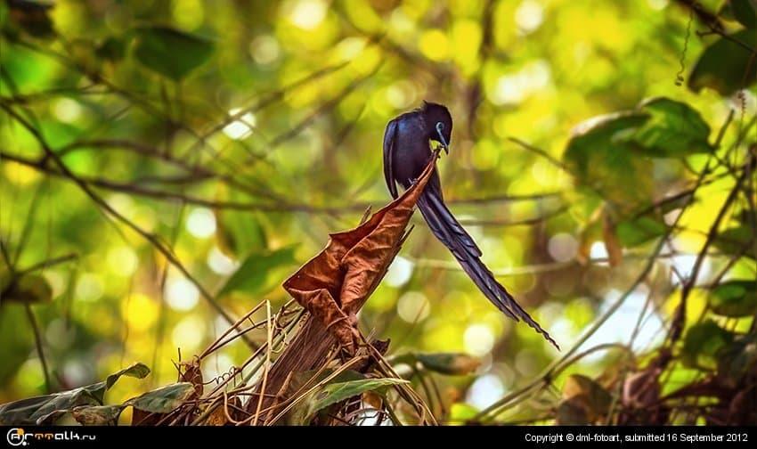 Сейшельская райская мухоловка