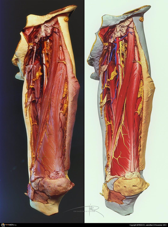 Human Cadaver Leg (thigh) 3d Model