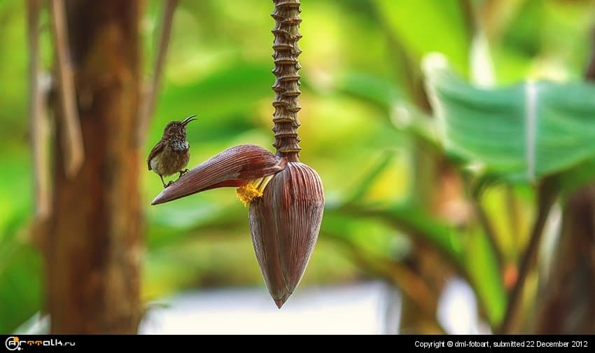 Bird On A Banana Flower