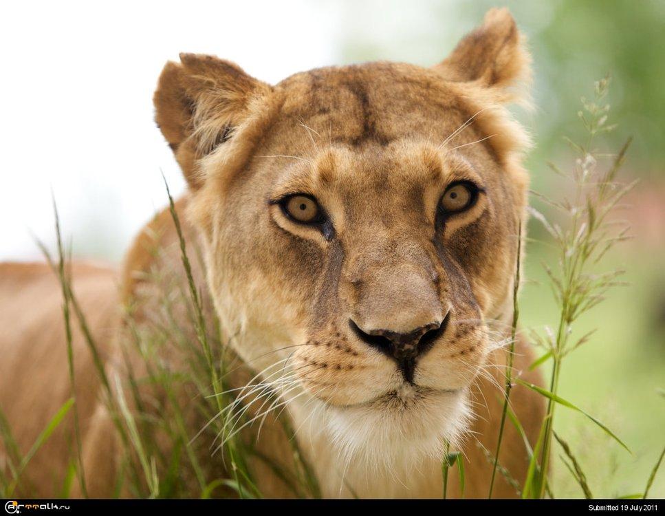 Animals_Beasts_Beautiful_Lioness_024409_.thumb.jpg.0d6c834008123ab510c86050c345b6ac.jpg