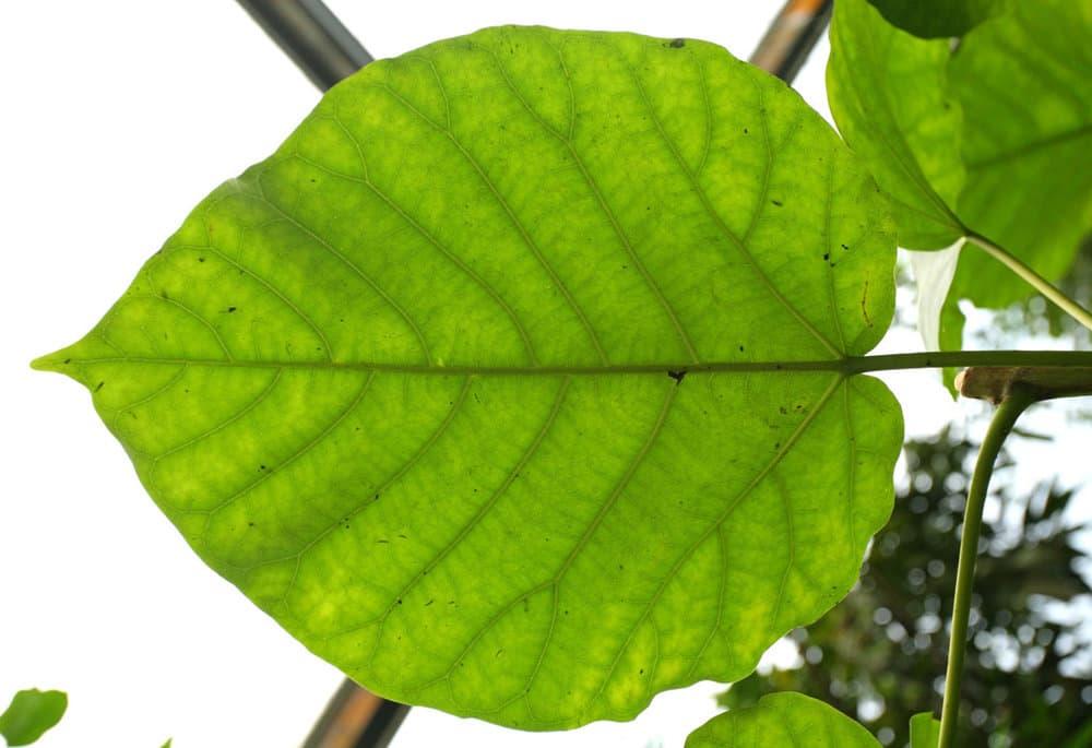 LeavesTropical0079_S.thumb.jpg.b0a8c3b1a45c281dd31fd3875c01e2e7.jpg