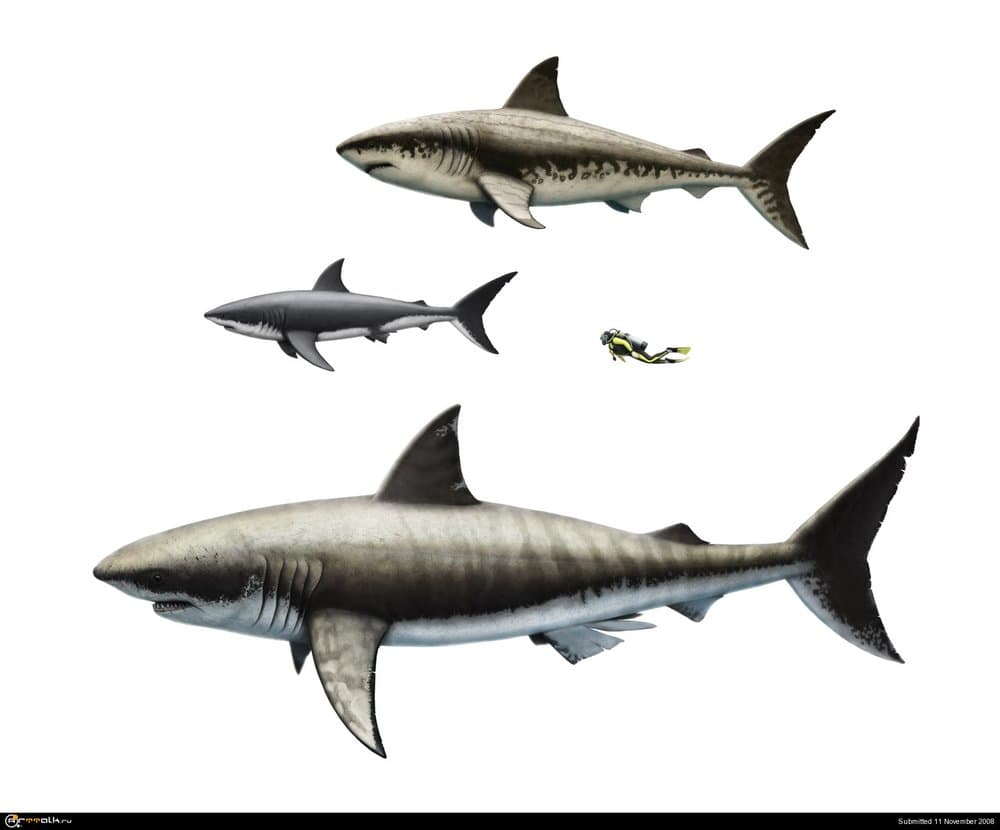 Sharks_comparison_small.thumb.jpg.75538110dd93406ac43fd3fe9aa6a91e.jpg