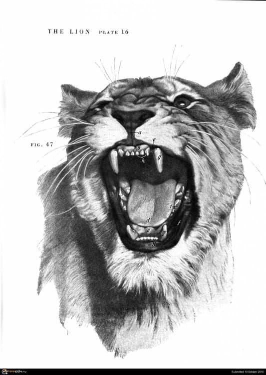 lion016.thumb.jpg.ef5923d60d4e309427ff9965851fb9dd.jpg