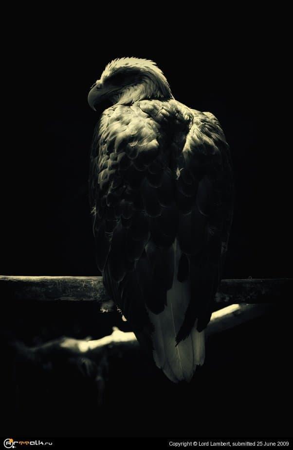 Орлан белокрылый