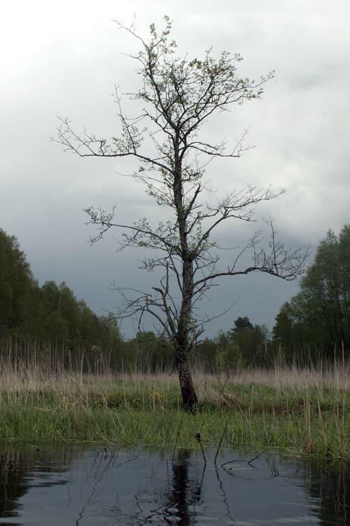 Черепятицкое дерево.