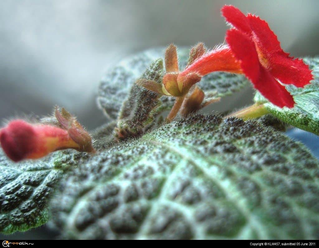 цветок_эписция