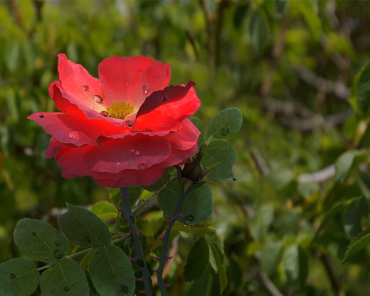 роза в капельках