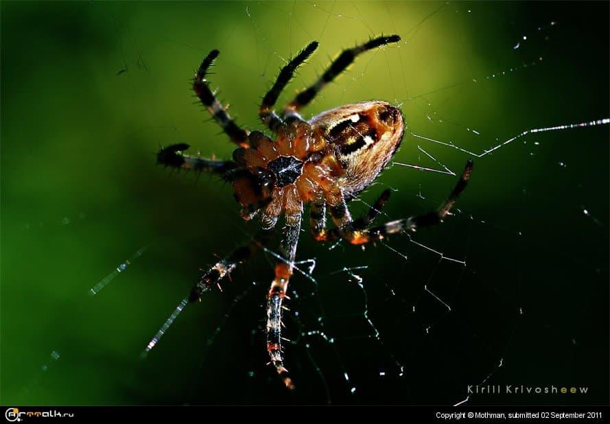 Spider Expression
