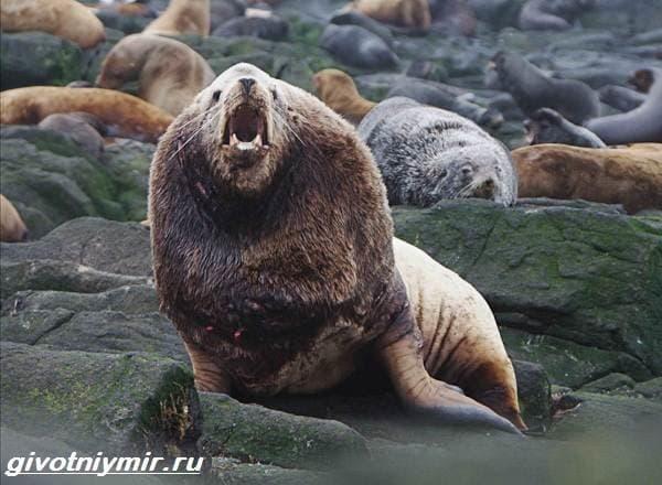 Сивуч-животное-Образ-жизни-и-среда-обитания-тюленя-сивуча-6.jpg